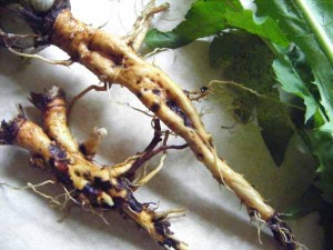 корень одуванчика