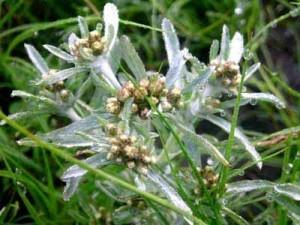цветки сушеницы топяной