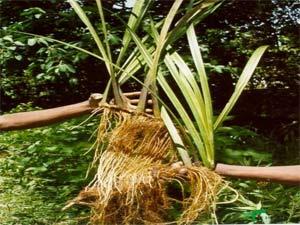 корни аира