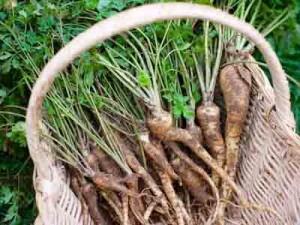 корни петрушки