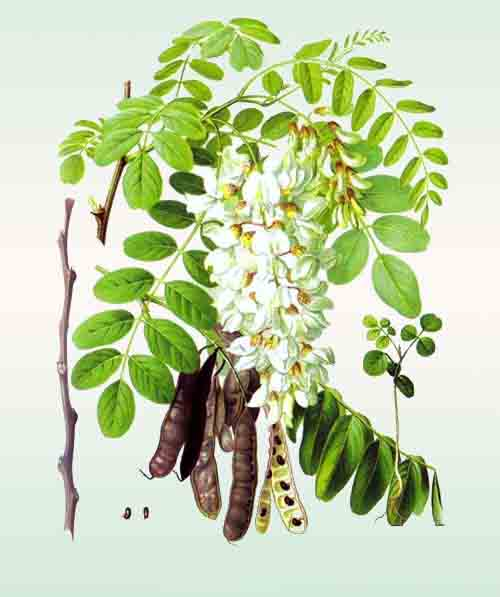 акация, цветы, листья, плоды