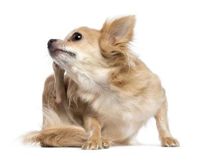 собака мелкой породы