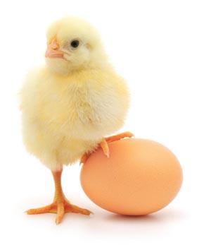 Цыпленок, яйцо куриное