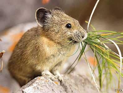 Мышь ест траву
