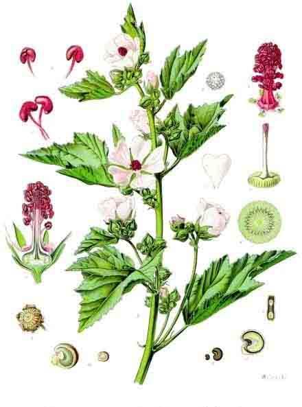 Части растения алтея