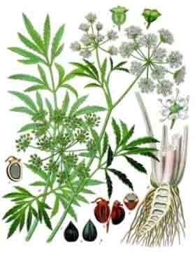 Болиголов, части растения