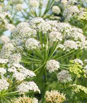 Цветок болиголова