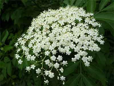 Цветы бузины.