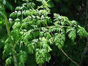Листья болиголова