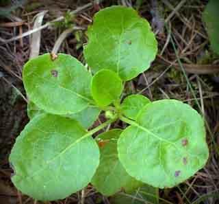 Растение ортилии