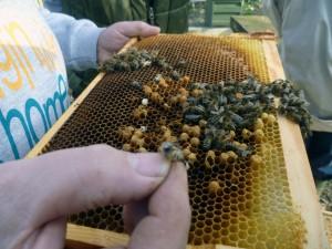 Осмотр пчелиных сот