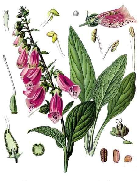 Наперстянка - части растения