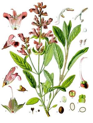 части растения шалфея