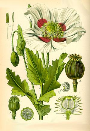 части растения мака