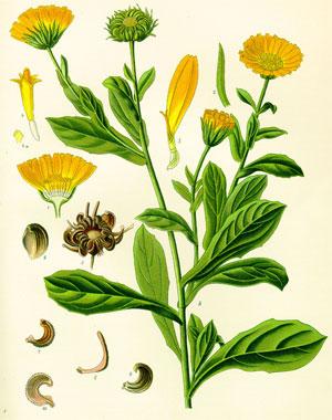 части растения календулы