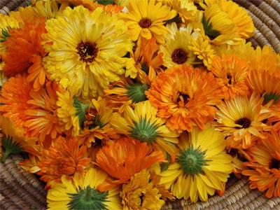цветы ноготков, календулы