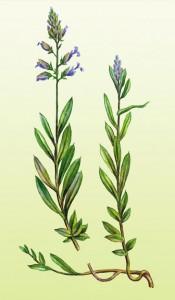 истод, части растения