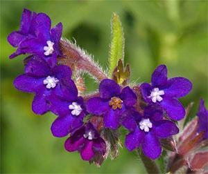 цветы воловика