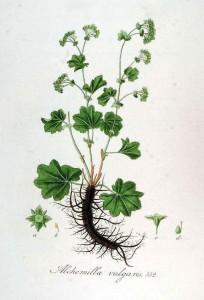 растение манжетки