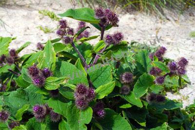растение лопуха