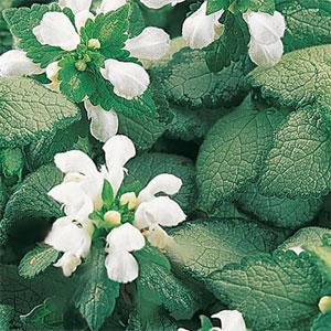 цветы яснотки