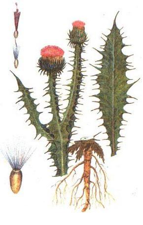 растение татарника
