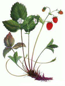 растение земляники