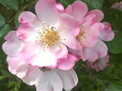 Шиповник розовый