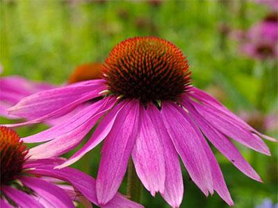 цветок эхинацеи пурпурной