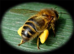 пчела несет пыльцу