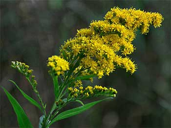 соцветие золотарника