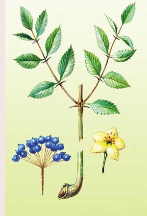 аралия, части растения