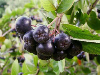 Арония черноплодная, ягоды