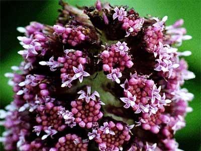 белокопытник цветет