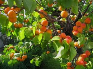 зреет абрикос