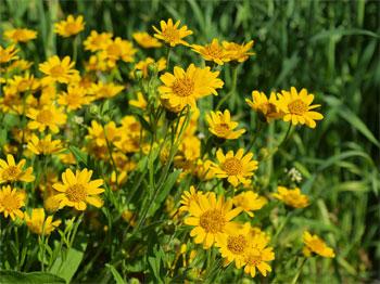 арника цветет