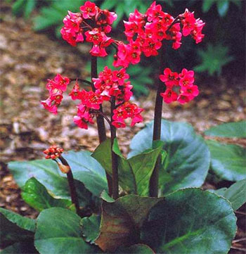 бадан красноцветковый