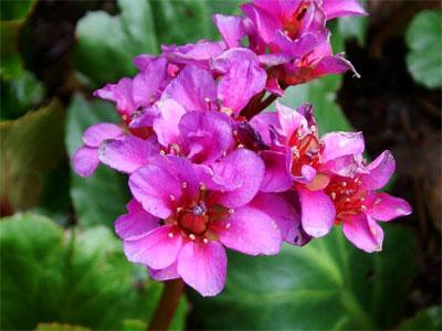 Бадан, цветение