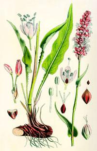 Горец змеиный - части растения