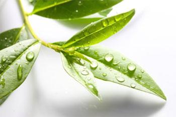 лист чайного дерева