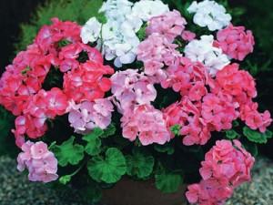 многоцветие герани