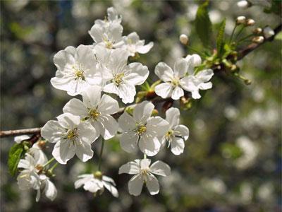 Ветка цветущей вишни