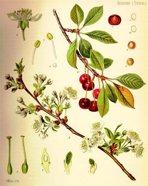вишня, части растения