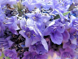 витекс, цветы