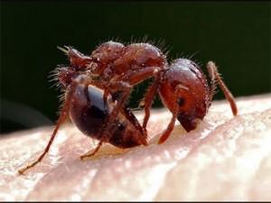 муравей кусает человека