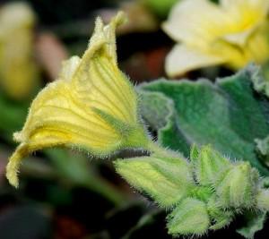 цветок бешеного огурца