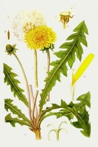 одуванчик, части растения