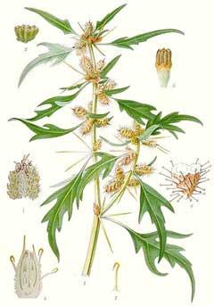 дурнишник, части растения