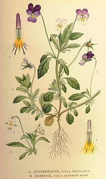 фиалка, части растения