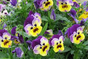 фиалки трехцветной цветы
